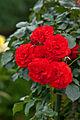 Rose, Trumpeter.jpg