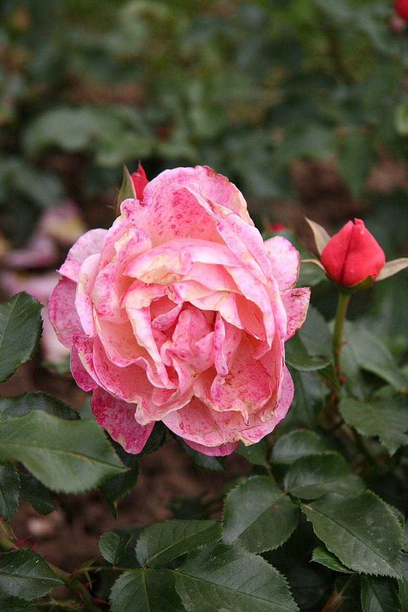list of rose cultivars named after people howlingpixel. Black Bedroom Furniture Sets. Home Design Ideas