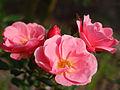 Rose Monticello バラ モンティセロ (6389471447).jpg