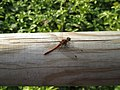 Rote Heidelibelle.jpg