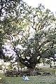 Roverella molto bella.jpg