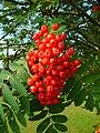 Rowan fruit, Sorbus aucuparia. - geograph.org.uk - 896191.jpg