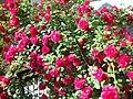 Ruže - panoramio (1).jpg