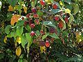 Rubus glaucus frutos rojos.JPG