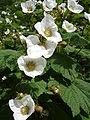 Rubus parviflorus1UME.jpg