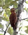 Rufous woodpecker - Female - Flickr - Lip Kee.jpg