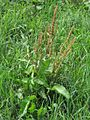 Rumex obtusifolius PID1745-1.jpg