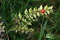 Ruscus aculeatus 1.jpg