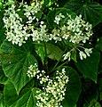 SDC11297 - Begonia odorata (Schiefblatt).JPG
