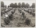 SLNSW 919929 Series 04 Fruit and vegetables ca 19211924.jpg