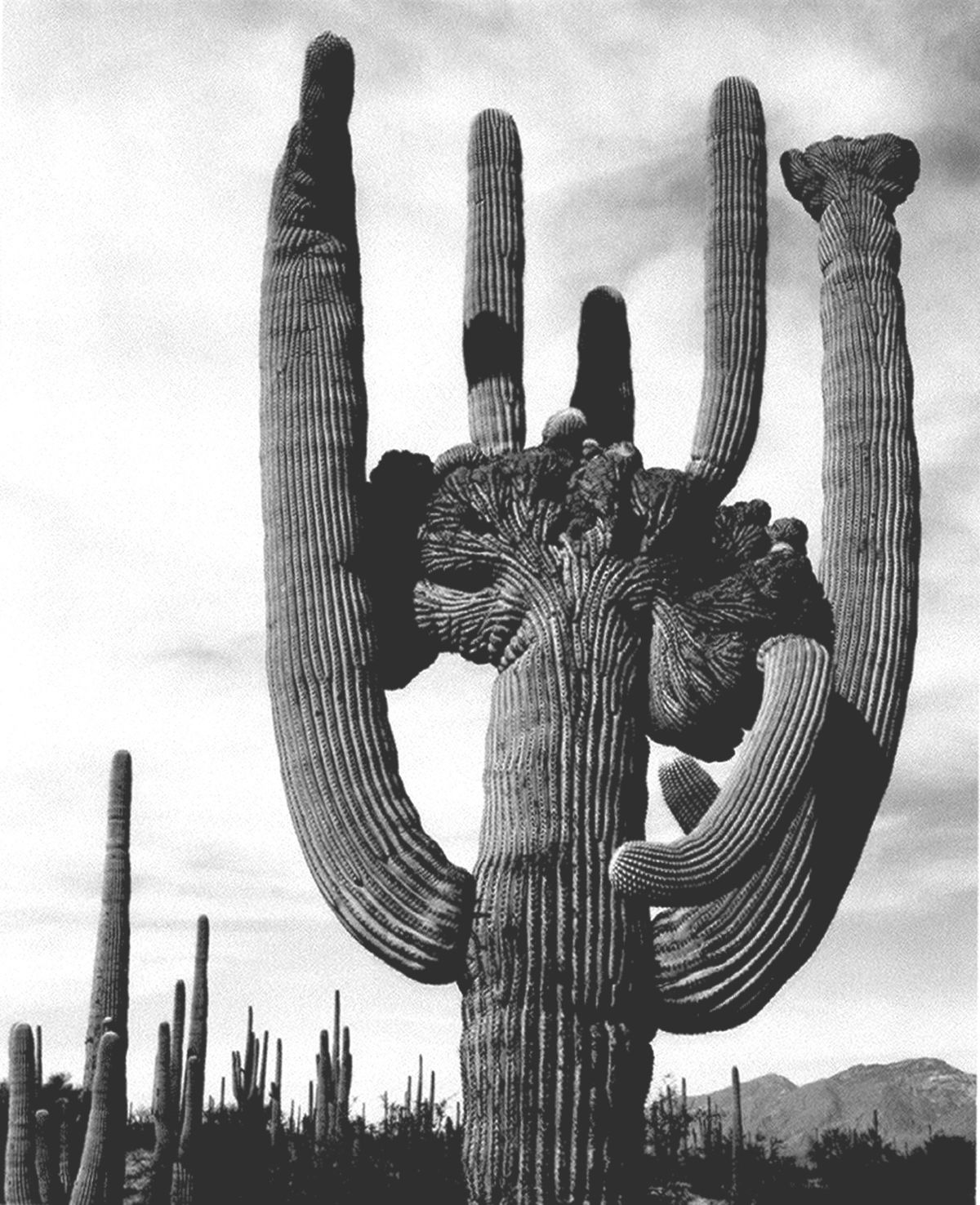 cactus - Wiktionary