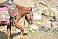 Saiful mulook horse 4.jpg