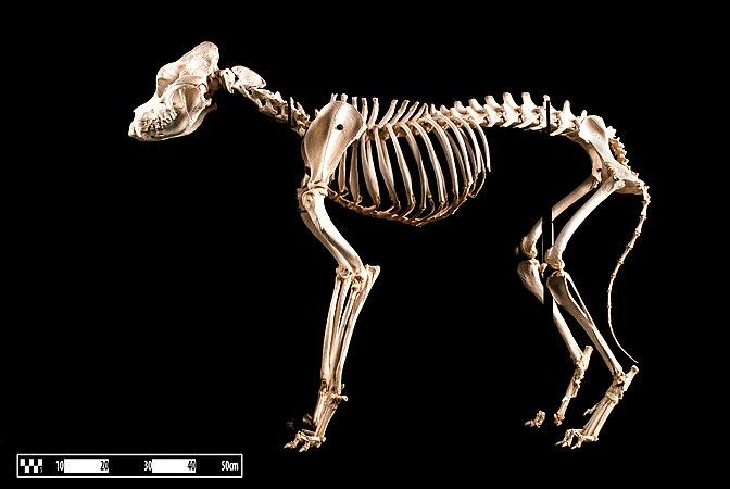 "Saint Bernard dog. ""Canis lupus familiaris"".jpg"