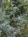Salix lapponum Oulu, Finland 01.06.2013.jpg