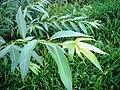 Salix pentandroides-leaf.JPG