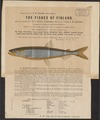 Salmo spec. - 1885 - Print - Iconographia Zoologica - Special Collections University of Amsterdam - UBA01 IZ14800001.tif