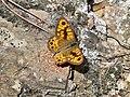 Saltacercas macho - Lasiommata megera - Montes de Málaga.JPG