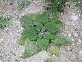 Salvia sclarea sl4.jpg