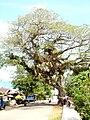 Saman tree (habit).jpg