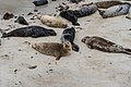 San Diego Seals.jpg