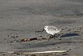 Sanderling, Calidris alba, in non-breeding plumage, Monterrey Bay area, USA (30915615555).jpg