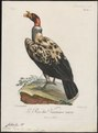 Sarcoramphus papa - 1796-1808 - Print - Iconographia Zoologica - Special Collections University of Amsterdam - UBA01 IZ18100117.tif
