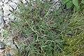 Satureja sp. Lamiaceae 09.jpg