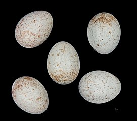 Pŕhľaviar čiernohlavý (Saxicola rubicola) - vajíčka