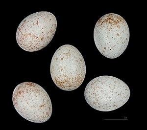 European stonechat - Saxicola rubicola