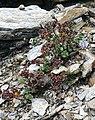 Saxifraga biflora 010907.jpg