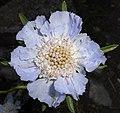 Scabiosa caucasica 2015-07-15 4775.jpg