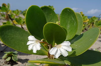 Scaevola plumieri at Xai-Xai beach. (14875668562).jpg