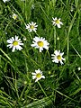 Scentless Mayweed (Tripleurospermum inodorum) - geograph.org.uk - 424734.jpg