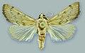 Schacontia themis - ZooKeys-291-027-g001-6.jpeg
