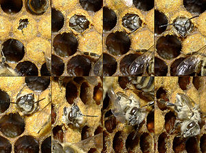 Honey bee life cycle - Worker bee emerging from cell