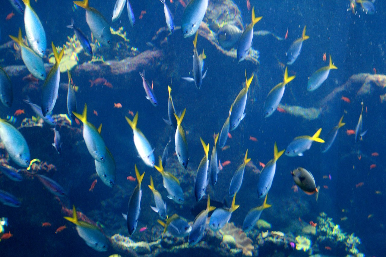 File school of fish at california academy of sciences jpg for School of fish