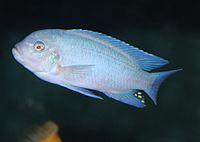 Sciaenochromis fryeri 02