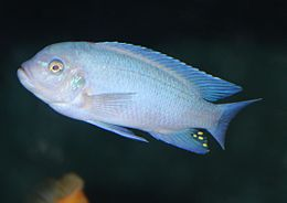 Sciaenochromis fryeri 02.JPG