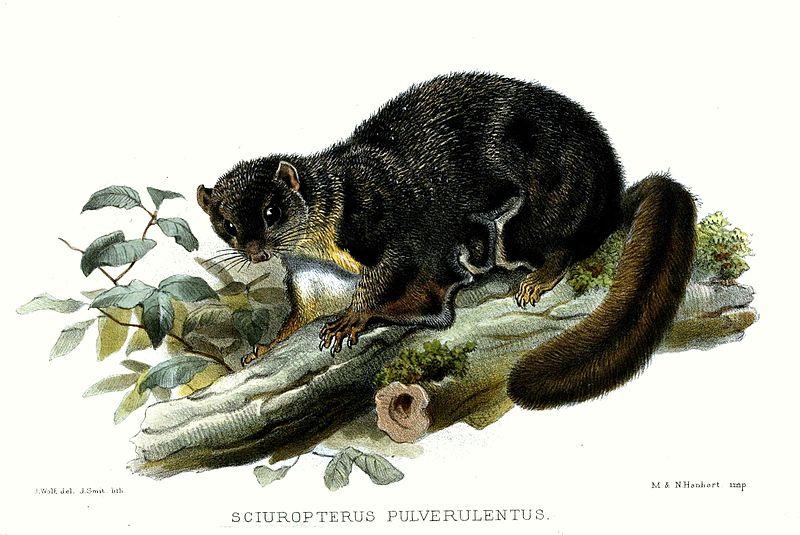 File:SciuropterusPulverulentusWolf.jpg