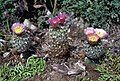 Sclerocactus wetlandicus ssp ilseae fh 0700 in cultur ABC.jpg