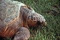 Sea Turtle, NPSPhoto (10) (9257766416).jpg