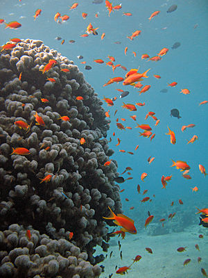 Sea goldies swimming next to a coral, the Red Sea, Gulf of Eilat, Israel.