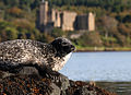 Seal, Loch Dunvegan.jpg