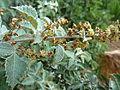 Searsia batophylla, bloeiwyses, a, Walter Sisulu NBT.jpg