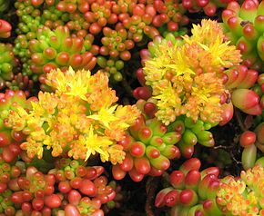 Description de l'image Sedum rubrotinctum 1.jpg.