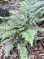 Selaginella flabellata guadeloupe.jpg