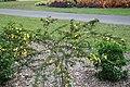 Senna polyphylla 39zz.jpg