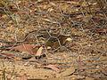 Sericornis frontalis, Evans Lookout, Blackheath, NSW.jpg