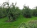 Serried ranks of cider apples - geograph.org.uk - 959149.jpg