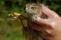 Sharp-Shinned Hawk (Accipiter striatus).png